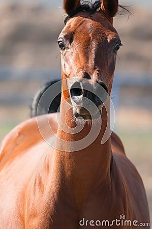 Bay arabian horse runs front