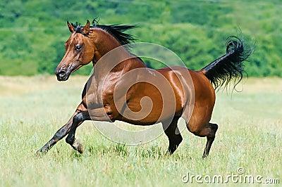 Bay arabian horse runs gallop