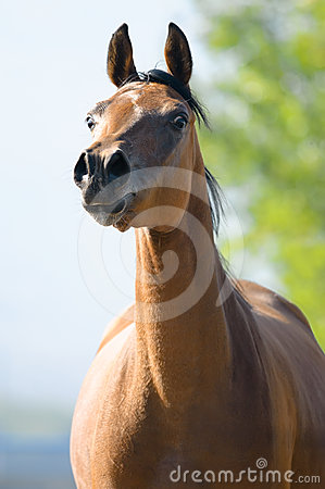 Bay Arabian horse runs gallop in front view