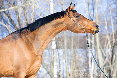 Bay Budenny horse portrait in winter time