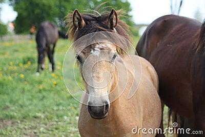 Bay dun foal portrait