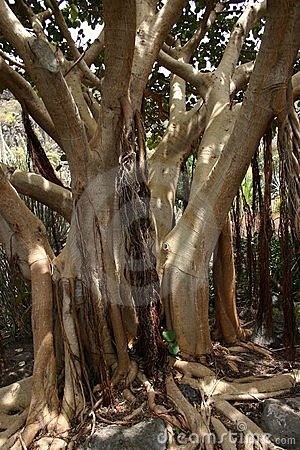 Bay fig tree