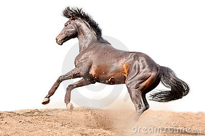 Bay galloping horse isolated on white