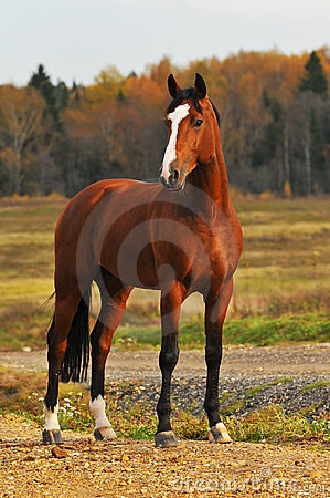 Bay horse in autumn