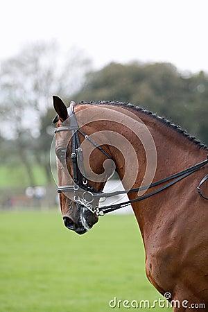 Bay horse dressage