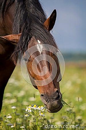 Bay horse eat
