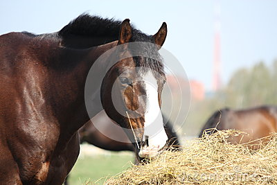 Bay horse eating dry hay