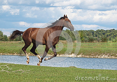 A bay horse galloping