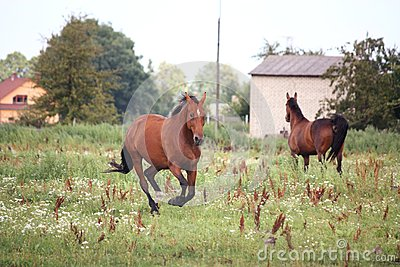 Bay horse galloping free at the pasture
