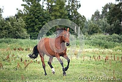 Bay horse galloping free at the pasture