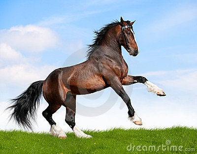 Bay horse gallops in field