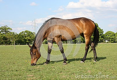 Bay Horse Grazing