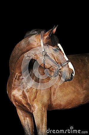 Free Bay Horse In The Dark Royalty Free Stock Photo - 18209025