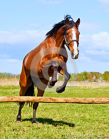 Free Bay Horse Jumping Over A Hurdle Riderless Royalty Free Stock Images - 52516529