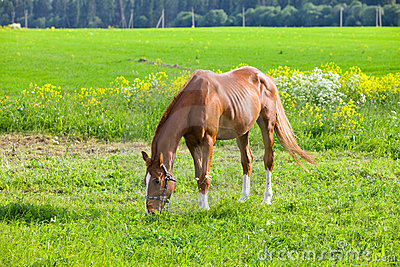 Bay horse on a meadow
