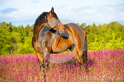 Bay horse portrait in pink flowers