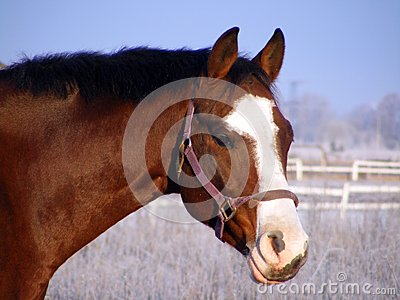 Bay horse portrait in winter