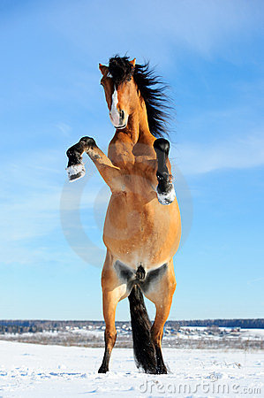 Bay horse rearing up, front view, winter