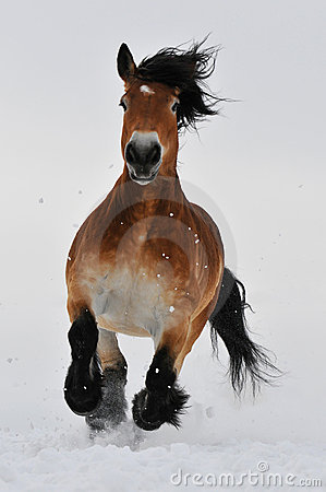 Bay horse run gallop on the snow