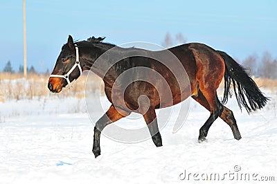 Bay horse runs