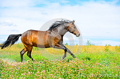 Bay horse runs gallop on flowers meadow