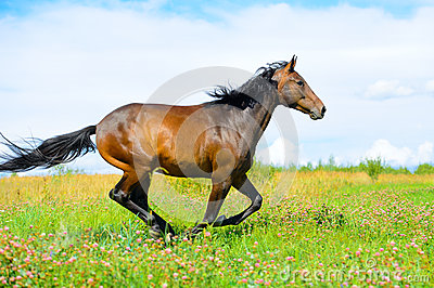 Bay horse runs gallop on the meadow in summer