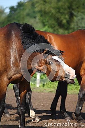 Bay horse shaking its mane