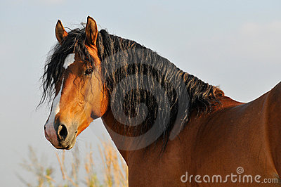 Bay horse stallion portrait