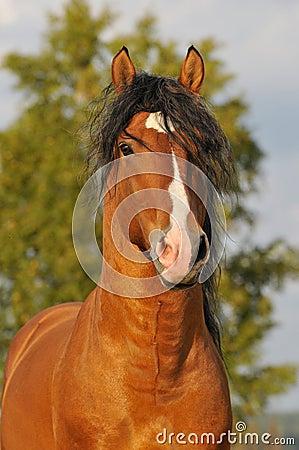 Bay horse stallion portrait
