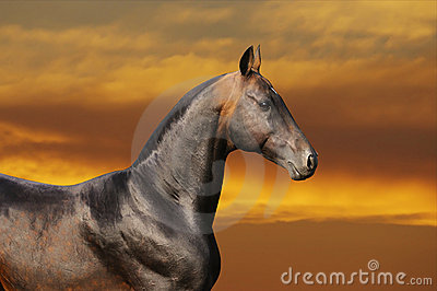 Bay horse in sunset
