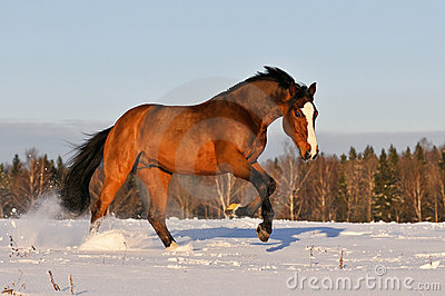 Bay horse in winter runs gallop