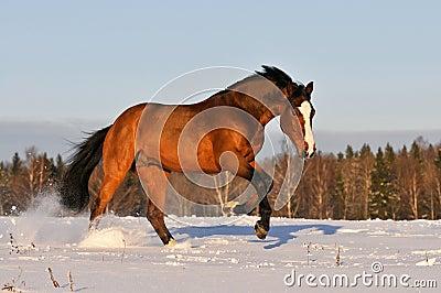 Bay horse in winter runs gallop