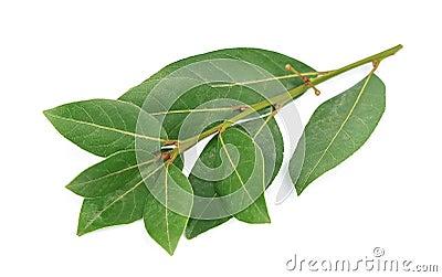 Bay leaf