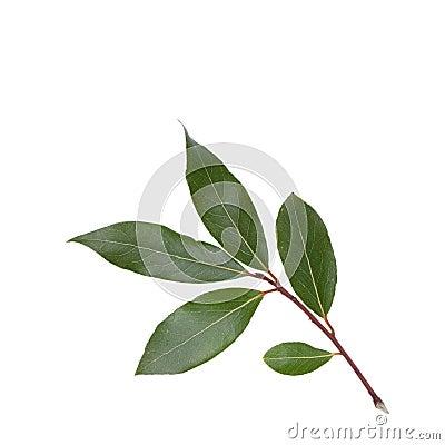 Free Bay Leaf Stock Images - 28802384