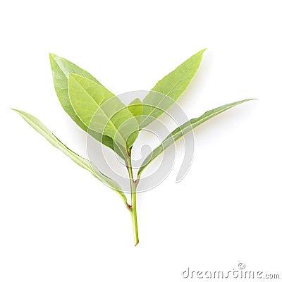 Free Bay Leaf Stock Image - 32523281