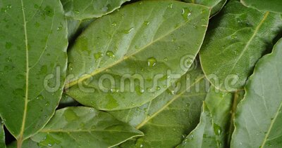 Bay leaf with water drops rotates slowly. Macro background stock video footage