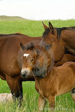 Free Bay Mare And Foal Stock Photos - 4546593