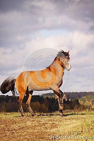 Bay stallion in autumn