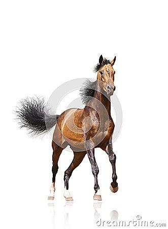 Bay stallion isolated