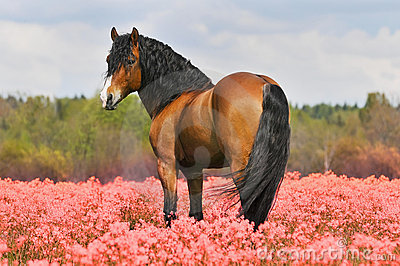Bay stallion on the pink field