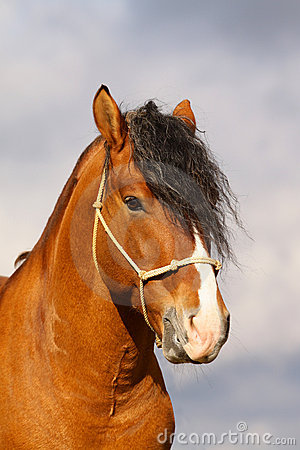 Bay stallion portrait
