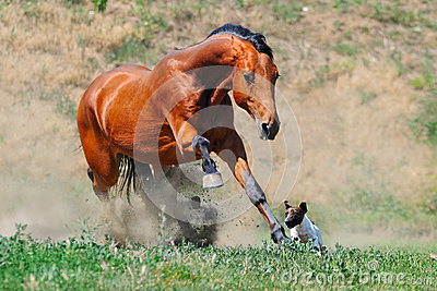 Bay stallion running after jack russel terrier