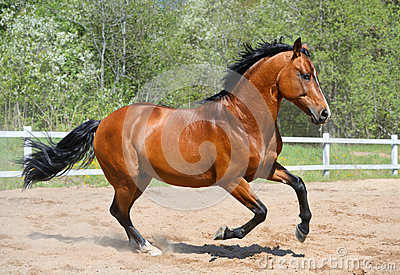 Bay stallion of Ukrainian riding breed