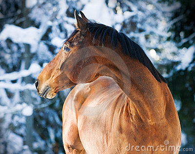 Bay Trakehner horse portrait in winter
