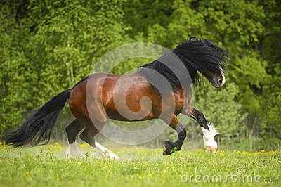 Bay Vladimir Heavy Draft horse playing on the meadow