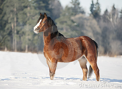 Bay welsh pony in snow