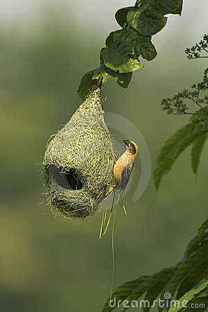 Free Baya Weaver Nest Stock Photos - 3258773