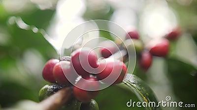 Bayas de café maduras y verdes en la granja orgánica de la plantación Bali, Indonesia 4K a cámara lenta almacen de video