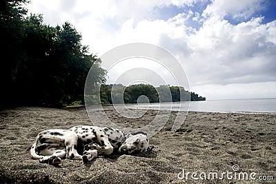 Beach Dog Sleeping