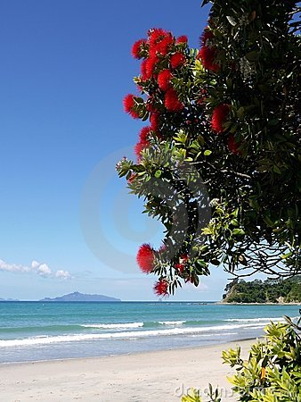 New Zealand: red flowering tree at beach